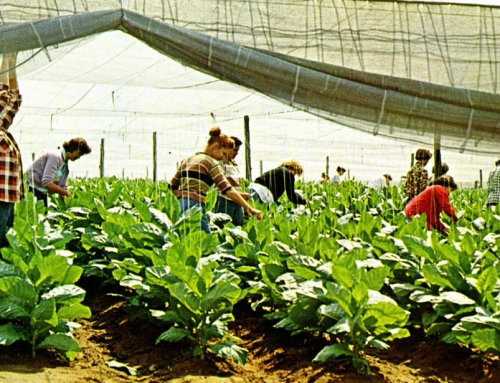 Tobacco: Windsor's Cash Crop